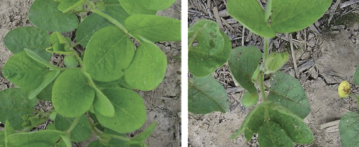 Soybean plants that received a seed treatment prior to planting, left, tend to be healthier and more vigorous than non-treated plants.