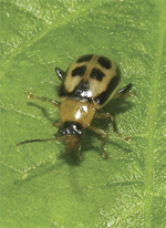 Bean leaf beetle, along with brown and green stinkbugs, is a key pest in Southern soybeans