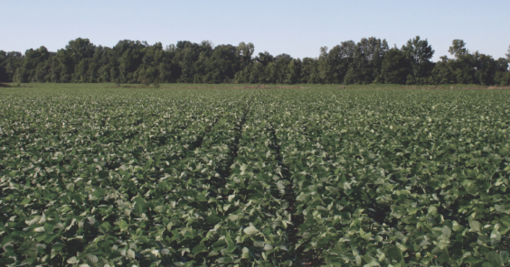 This Mississippi field appears to be pigweed-free eight weeks after a Fierce herbicide application.