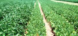 Texas soybeans