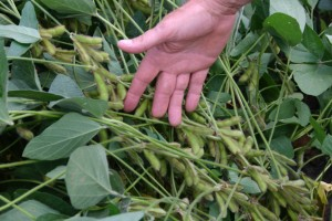 loaded soybeans