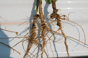 soybean nodulation