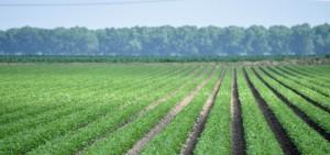 Arkansas soybeans