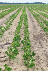 two-row soybeans