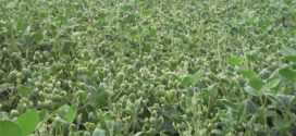 dicamba injury