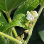 soybean bloom