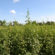 Focus on Soybean webcast highlights integrated pigweed management