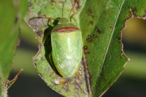 redbanded stink bug