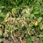phytophthora root and stem rot