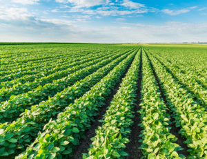 soybean field missouri