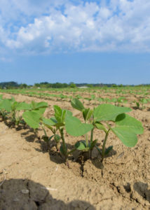 slow start to Mississippi soybeans