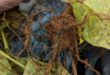blue hyphae on SDS-infected soybeans