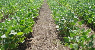 no-till soybeans into wheat stubble