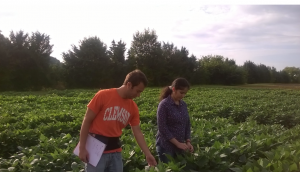 Clemson soybean research