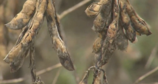 weather-damaged soybeans