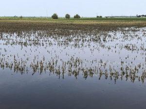 flooded soybeans in arkansas