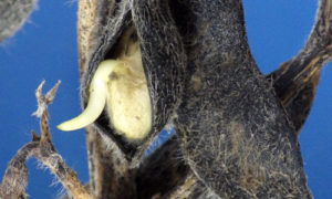 soybean sprouting in the pod
