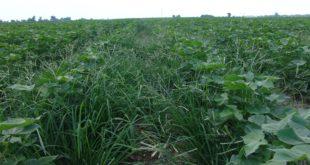 glyphosate-resistant goosegrass