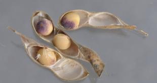 phomopsis seed stain