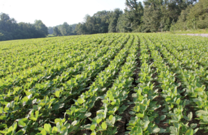 tennessee soybeans