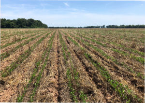 soybeans in cover crops
