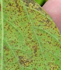 asian soybean rust