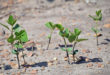 young soybeans Mississippi