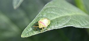 red-banded stink bug