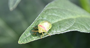 red-banded stink bug