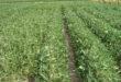 narrow-row soybeans