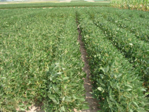 narrow-row soybeans