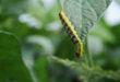 corn earworm in soybeans
