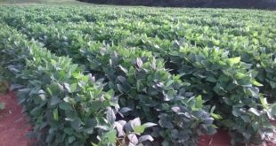 drought tolerant soybeans