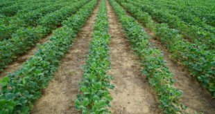 dicamba injury to tennessee soybeans