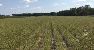 armyworms stem a soybean field