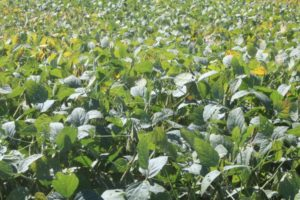 drought-stressed soybeans