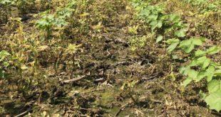 treated pigweed