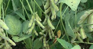 north carolina soybeans
