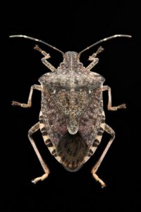 brown marmnorated stink bug
