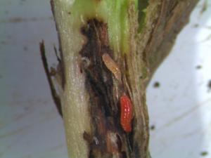 soybean gall midge