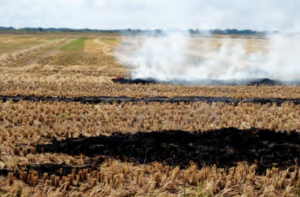 Narrowwindrow burning in a rice field.