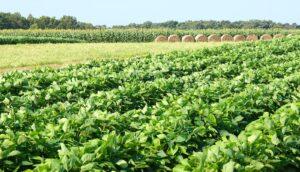 soybeans hay sorghum