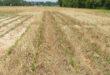 lsu cover crop trial