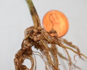 soybean nodulation