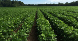 alabama soybeans