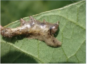 NPV-infested caterpillar